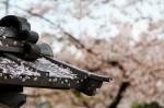 Pétales de cerisier après la pluie
