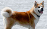 Hachikô, the faithful dog
